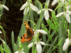 Schmetterling versorgt sich bei den Schneeglöckchen mit Nahrung.