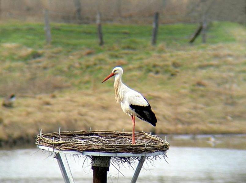 Vergeblich wartete Anfang April 20122 ein Storch in der Nähe der Ökologiestation auf ein Weibchen. Foto: Klaus Nowak