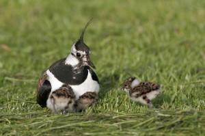 Der Kiebitz war 1996 Vogel des Jahres. Der taubengroße Vogel steht auf der Roten Liste.