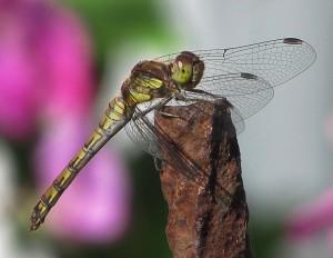 Zugegeben: Diese Foto von einer Libelle in unserem Garten stammt aus dem vergangenen Jahr, es ist aber mit Gimp bearbeitet worden.