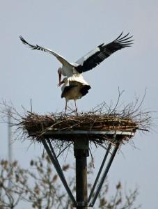 Das Storchenpaar kümmert sich um Nachwuchs. (Foto: Günter Reinartz)