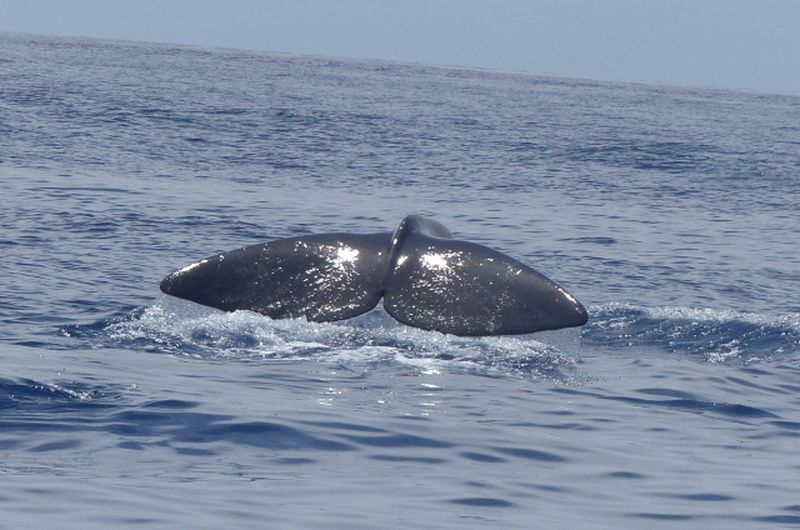 An der Fluke lassen sich Wale genau identifizieren. (Foto: Jana Achäfer
