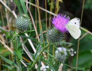 Von wegen Unkraut: Die Distel lockt Schmetterlinge an und birgt kulinarische Höhepunkte.