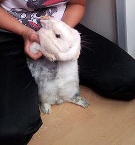 Dieses weiße Kaninchen wird gesucht.
