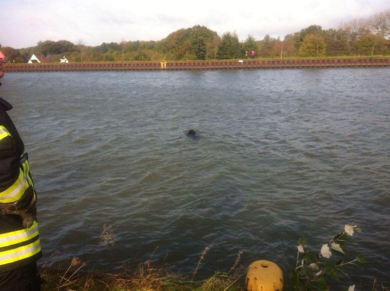 Wildschweine können schwimmen. Nur bei hohen Spundwänden müssen auch sie passen.