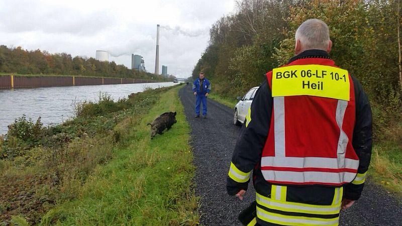 Beim zweiten Versuch gelang es der Feuerwehr, das Wildschwein aus dem Datteln-Hamm-Kanal zu retten. (Fotos: Feuerwehr Bergkamen)