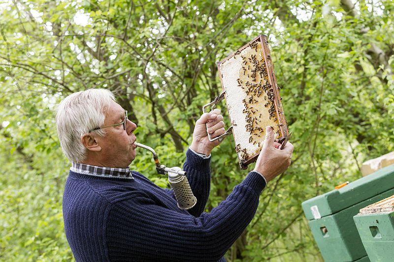 Bienen gelten zu Unrecht als aggressiv und gefährlich. Auf Schutzkleidung kann Imker Norbert Alexewicz bei seinen Routinekontrollen daher verzichten.