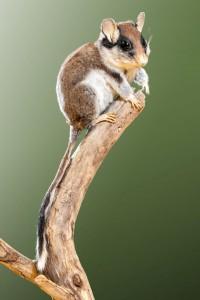 Funde vom Gartenschläfer sind von besonderem Interesse für die Arbeitsgemeinschaft Säugetierkunde NRW. Foto: LWL/Steinweg