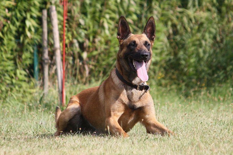 Diensthund Klitschko