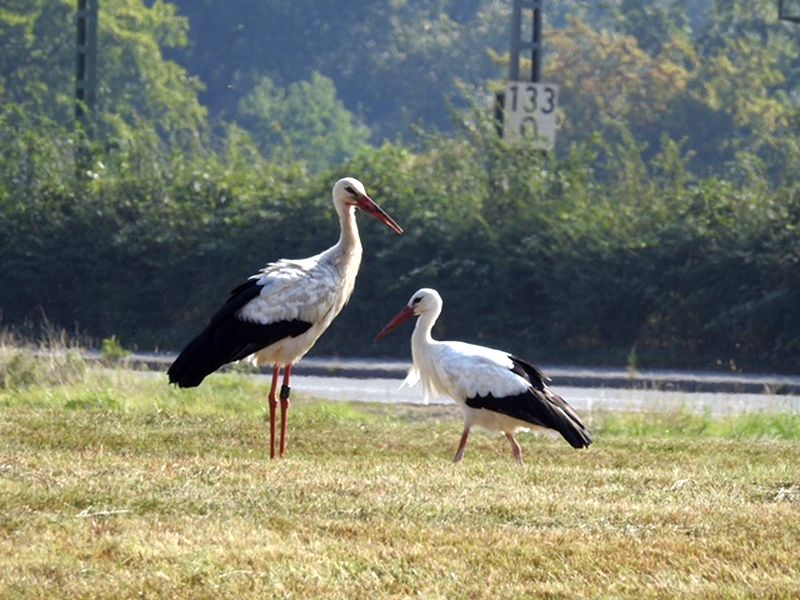 Storch3