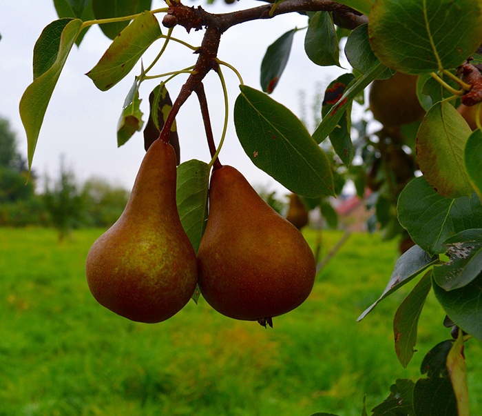 pears-1679718_1280